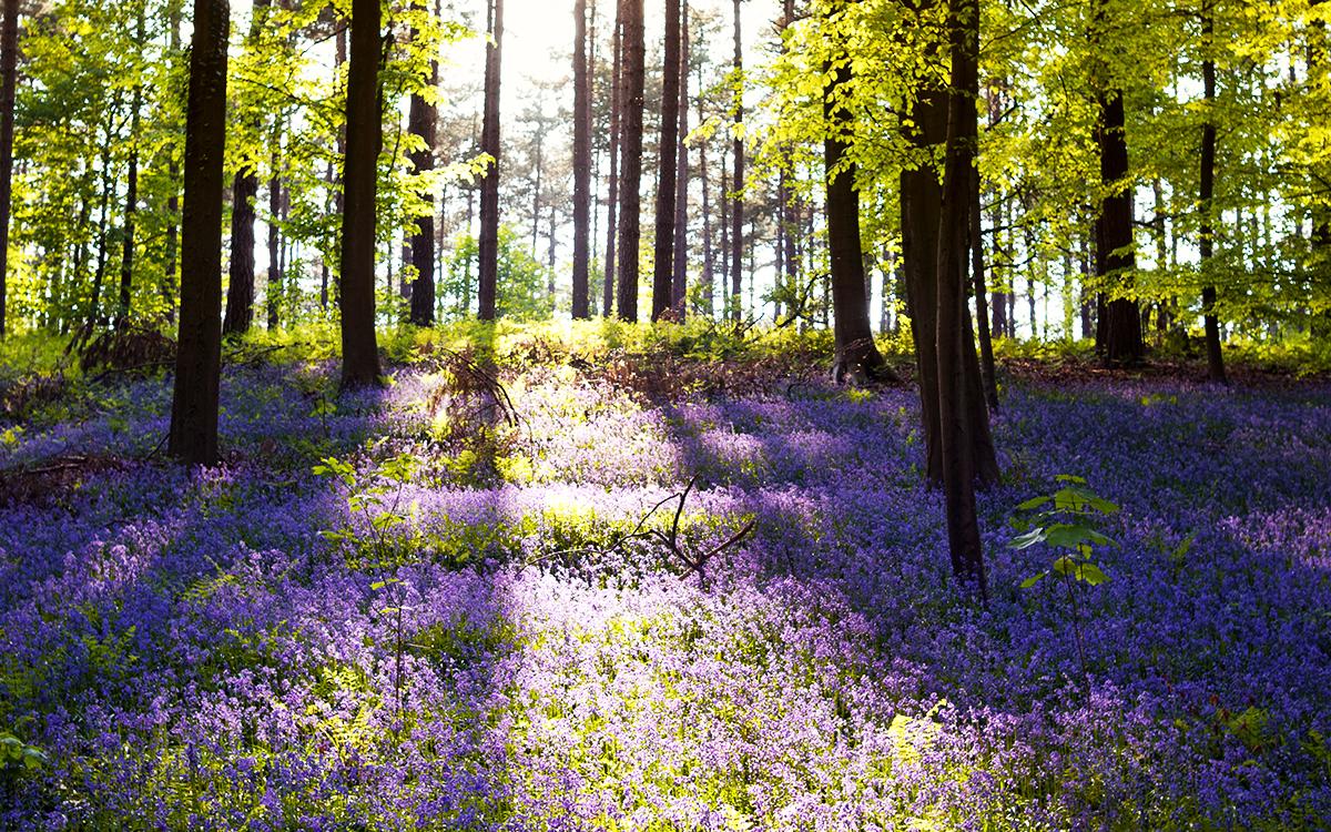 Bluebells in bloom in Hallerbos Forest
