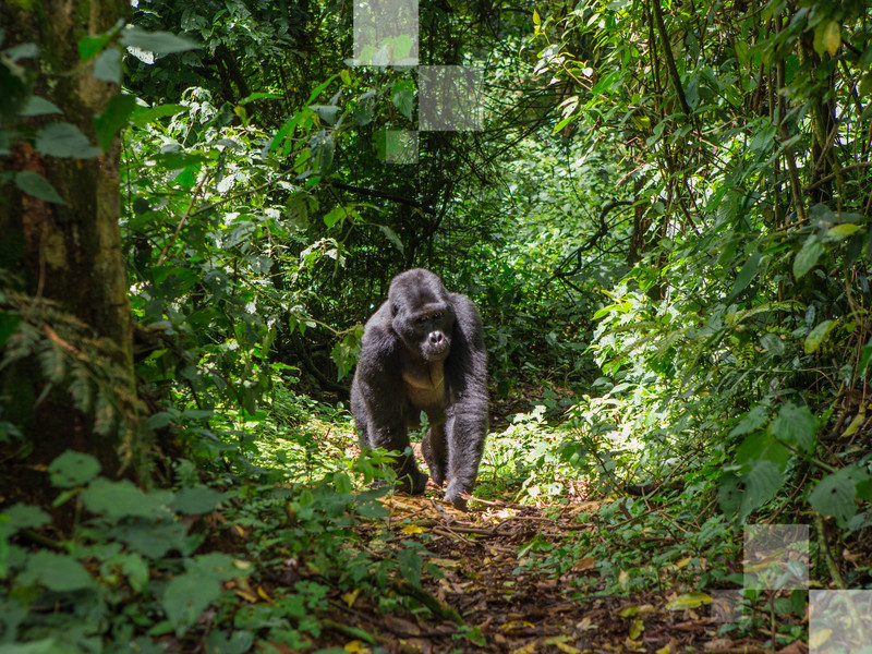Seeing the mountain gorillas in Uganda is truly a once-in-a-lifetime experience